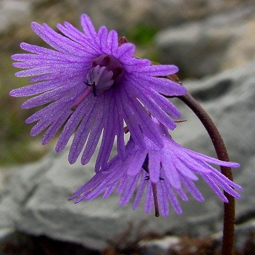 schweizer flora herbarium online blog. Black Bedroom Furniture Sets. Home Design Ideas
